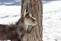 Chamois in the National Park, Aosta Stock Photo