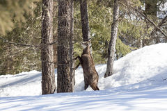 Chamois in the National Park, Aosta Royalty Free Stock Photography