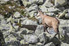 Chamois in the national park. Up a steep hill, into the wild blue younder Stock Photos