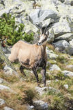 Chamois in the national park. Up a steep hill, into the wild blue younder Stock Images