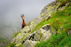 Chamois in natural habitat Royalty Free Stock Photos