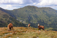 Chamois in nature - Rupicapra, Tatras, Slovakia Stock Image