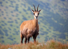 Chamois in nature - Rupicapra, Tatras, Slovakia Royalty Free Stock Photography
