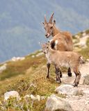 Chamois near Chamonix. Two 'Chamois' (French mountain goat) up in the mountains near chamonix stock images