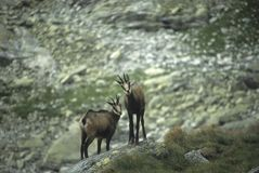 Chamois pair Royalty Free Stock Photography