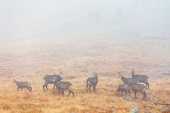 Chamois passes a mountain pass in the fog Royalty Free Stock Image