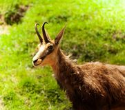 Chamois in the pasture Royalty Free Stock Image