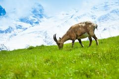 Chamois on the pasture Royalty Free Stock Photos