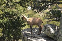 Chamois in Pyrenees Stock Images