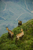 Chamois in Piatra Craiului Stock Images