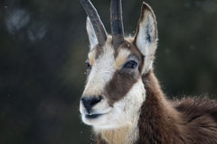 Chamois Profile Stock Images