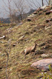 Chamois in Pyrénées Stock Images