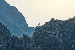Chamois on a ridge Royalty Free Stock Images