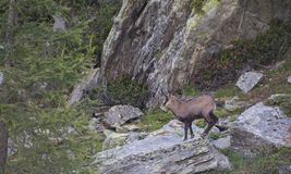 Chamois on a rock on the alps royalty free stock photo