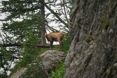 Chamois on rock Royalty Free Stock Photos
