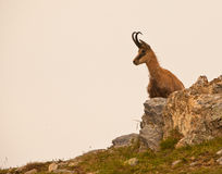 A Chamois on rocks. An Alpine Chamois (Rupicapra rupicapra) looks around from the safety of her rocky kingdom in the Ligurian Alps of Italy Royalty Free Stock Photography
