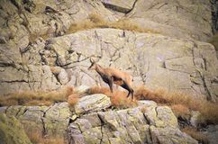 Chamois on the rocks. Stock Photos