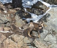 Chamois on the rocks in winter stock images
