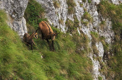 Chamois in the romanian carpathian mountains Royalty Free Stock Image