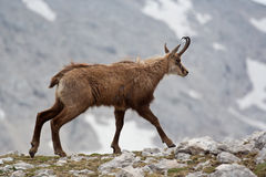Chamois Stock Photography