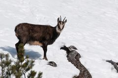 Chamois Rupicapra rupicapra, beautiful mammal from the Alps, Lombardy, Italy stock photography