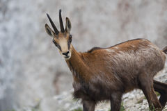 Chamois (Rupicapra Carpatica) Royalty Free Stock Photos