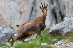 Chamois (Rupicapra Carpatica) Royalty Free Stock Images