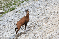Chamois (Rupicapra Carpatica) Stock Photos