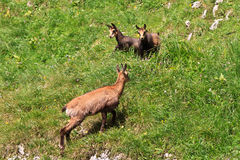 Chamois (Rupicapra Carpatica) Stock Photo