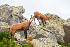 Chamois Rupicapra Carpatica Royalty Free Stock Photos