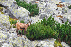Chamois Rupicapra Carpatica Stock Photos