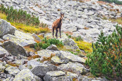Chamois Rupicapra Carpatica Royalty Free Stock Photography