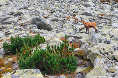 Chamois Rupicapra Carpatica Stock Photography