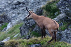 Chamois Rupicapra Carpatica Royalty Free Stock Image
