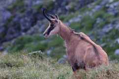 Chamois Rupicapra Carpatica Royalty Free Stock Images