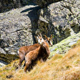 Chamois (Rupicapra Carpatica) in mountain High Tatras, Poland Stock Image