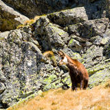 Chamois (Rupicapra Carpatica) in mountain High Tatras, Poland Royalty Free Stock Photography