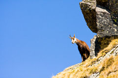 Chamois (Rupicapra Carpatica) in mountain High Tatras, Poland Stock Images