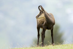 Chamois (Rupicapra carpatica) standing on hillside. Stock Image