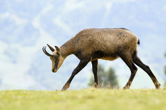 Chamois (Rupicapra carpatica) standing on hillside. Royalty Free Stock Photography