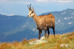 Chamois - Rupicapra Carpatica who goes on a mountain Stock Photos