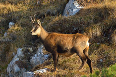 Chamois - rupicapra de rupicapra Photo libre de droits