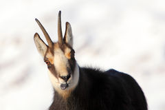 Chamois - rupicapra, detail view Royalty Free Stock Photos