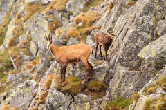 Chamois (Rupicapra) in mountain - its natural environment Royalty Free Stock Photo