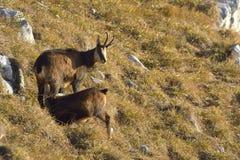 Chamois  Rupicapra rupicapra in natural habitat. Royalty Free Stock Photos