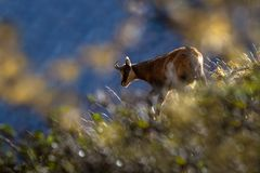 Chamois, Rupicapra rupicapra, on the rocky hill with autumn grass, mountain in Gran Paradiso, Italy. Autumn in the mountains royalty free stock image