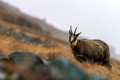 Chamois, Rupicapra rupicapra, on the rocky hill with autumn grass, mountain in Gran Paradiso, Italy. Autumn in the mountains royalty free stock photo