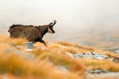 Chamois, Rupicapra rupicapra, on the rocky hill with autumn grass, mountain in Gran PAradiso, Italy. Wildlife scene in nature. stock photography