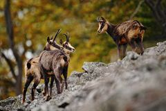 Chamois, Rupicapra rupicapra, on the rocky hill, forest in background, Studenec hill, Czech Republic. Wildlife scene with horn ani stock photo