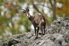 Chamois, Rupicapra rupicapra, on the rocky hill, forest in background, Studenec hill, Czech Republic. Wildlife scene with horn royalty free stock photos